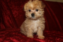 Scuttle Male CKC Shorkie $1750 Ready 9/19 SOLD MY NEW HOME BROOMFIELD, CO 2.4 lbs 9W5D Old