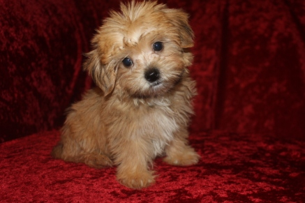 Triton Male CKC Shorkie $1750 Ready 9/19 SOLD MY NEW HOME MARTIN, GA 2.6 lbs 9W5D Old