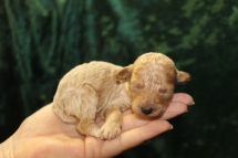 Bon Bon Female CKC Poodle $1750 Ready 10/14 AVAILABLE 6.4 OZ 12 DAYS OLD