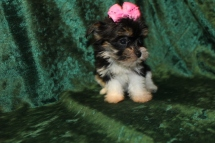 Lacey Female CKC Havashire $2000 Ready 9/8 AVAILABLE 1.3 LSB 6W4D Old