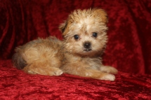 Max Male CKC Shorkie $2000 BUT WAIT SPECIAL $1750 Ready 9/19 SOLD MY NEW HOME JACKSONVILLE, FL Ready 9/19 AVAILABLE 1.14 lbs 9W5D Old