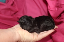 Milly Female CKC Malshipoo $1750 Ready 9/26 6.1 oz 3 Days Old