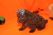 Mocha Female CKC Malshipoo $1750 SOLD MY NEW HOME FRESNO,CA 9/26 AVAILABLE 2.3 LBS 7WKS