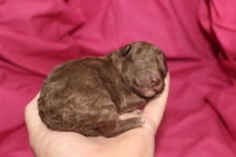 Mocha Female CKC Malshipoo $2000 Ready 9/26 HAS DEPOSIT MY NEW HOME FRESNO, CA 8 oz 3 Days Old