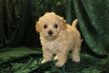 Molly Female CKC Maltipoo $1750 Ready 9/15 SOLD MY NEW HOME APOPKA,, FL