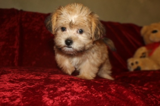 Prince E Male CKC Shorkie $1750 Ready 9/19 AVAILABLE 2.15 lbs 9W5D Old