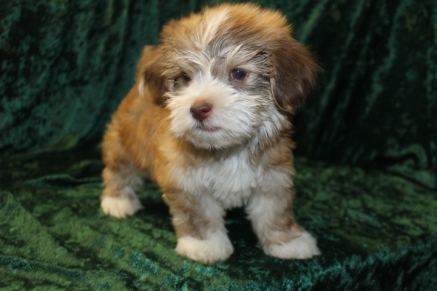 Sold Waffle Sweetest Male Ckc Havanese Is Sure To Be The Best