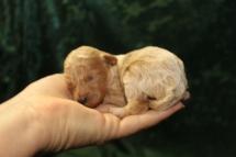 Bon Bon Female CKC Poodle $1750 Ready 10/14 AVAILABLE 6.4 OZ 12 DAYS OLD