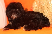 Cookie Female CKC Male Shihpoo $1750 BUT WAIT SPECIAL $1500 Ready 8/22 SOLD MY NEW HOME HOUSTON, TX 3.11 lbs 12W2D Old