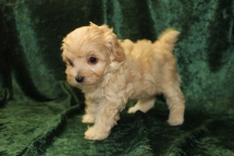 Macey Female CKC Maltipoo $1750 Ready 9/15 SOLD MY NEW HOME JACKSONVILLE, FL 1.11 LBS 5W4D