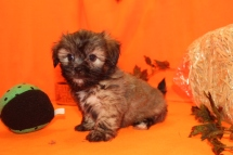 Star Female CKC Shihpoo $1750 Ready 9/23 SOLD MY NEW HOME JACKSONVILLE, FL 2.2LBS 7W4D