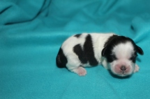 Taran Male CKC Shihpoo $1750 Ready 9/23 AVAILABLE 6.8 oz 5 Days Old