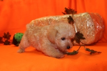 Witness Male CKC Morkipoo $1750 Ready 9/28 SOLD MY NEW HOME PINECREST, FL 1.15 LBS 6W5D OLD