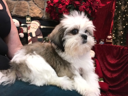 Gagan Male CKC Shihpoo $1750 WITH ALL HIS VACCINES INCLUDING RABIES Ready 9/23 SOLD MY NEW HOME JACKSONVILLE, FL 3.8 LBS 15 WEEKS OLD