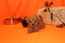 Jury Male CKC Morkipoo $2000 Ready 9/28 SOLD MY NEW HOME IS DALLAS, TX 1.14 LBS 6W5D OLD
