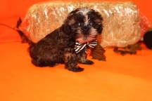 Orbit Male CKC Shihpoo $1750 Ready 9/23 SOLD MY NEW HOME JACKSONVILLE, FL 1.10 LBS 7W4D