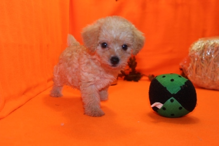 Alibi Female CKC Morkipoo $1750 Ready 9/28 SOLD MY NEW HOME IS PINECREST, FL 1.15 LBS 6W5D OLD