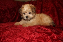 Ariel Female CKC Shorkie $1750 Ready 9/19 SOLD MY NEW HOME CORAL SPRINGS, FL 2.2 lbs 9W5D Old