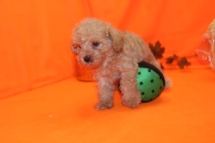 Judge Male CKC Morkipoo $1750 Ready 9/28 SOLD MY NEW HOME NAPLES, FL 1.15 LBS 6W5D OLD