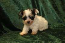 Loki Male CKC Havashire $2000 Ready 9/8 AVAILABLE 15 Oz 6W4D