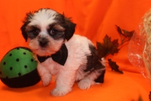 Taran Male CKC Shihpoo $1750 Ready 9/23 SOLD MY NEW HOME FL 1.14 LBS 7W4D