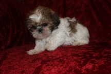 Miracle Female Imperial CKC Shih Tzu $1750 BUT WAIT SPECIAL $1500 Ready 9/21 SOLD MY NEW HOME YULEE, FL 2.4 lbs 9 wks old
