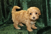 Mojo Male CKC Maltipoo $1750 Ready 9/15 HAS DEPOSIT MY NEW HOME GA 1.11 LBS 5W4D