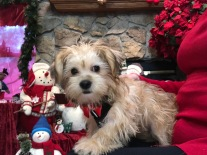 Prince E Male CKC Shorkie $1750 Ready 9/19 SOLD MY NEW HOME JACKSONVILLE, FL 4.14 lbs 15 Weeks Old