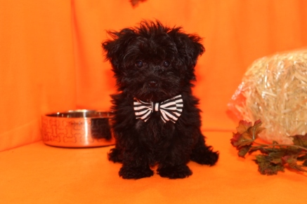 Aladdin Male T-cup CKC Yorkipoo $2000 on special $1500 Ready 8/11 SOLD MY NEW HOME JACKSONVILLE, FL 2.5 lbs 13 wks old