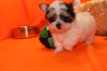 Loki Male CKC Havashire $2000 BUT PUPPY SPECIAL $1750 Ready 9/8 SOLD MY NEW HOME JACKSONVILLE, FL 1.5 lbs 8W6D Old
