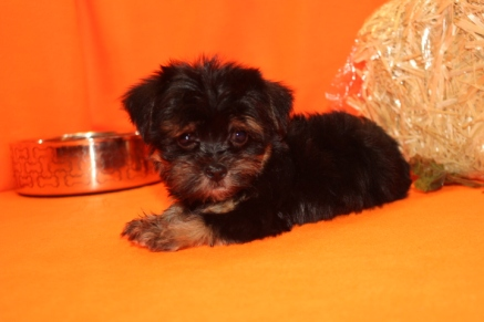 Lucky Male CKC Havashire $1750 Ready 9/8 SOLD MY NEW HOME JACKSONVILLE, FL 1.11 lbs 8W6D Old
