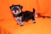 Luka Male CKC Havashire $1750 Ready 9/8 SOLD MY NEW HOME WINTER PARK, FL 1.15 lbs 8W5D
