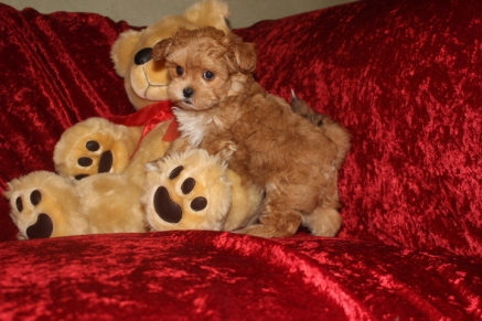 Maddy Female CKC Shihpoo $1750 READY 10/6 SOLD MY NEW HOME LYNDHURST NJ 2.12 LBS 7W3D Old