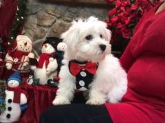 Noodle Male CKC Havanese $1750 BUT WAIT SPECIAL $1500 With all his vaccines including rabies Ready 9/27 SOLD MY NEW HOME JACKSONVILLE, FL 4.3 LBS 14 weeks 0LD