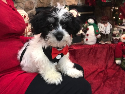 Reuben Male CKC Havanese $1750 BUT WAIT SPECIAL $1500 With all his vaccines including rabies Ready 9/27 SOLD MY NEW HOME ST AUGUSTINE, FL 4.7 LBS 14 weeks 0LD