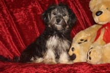 Sammy Male CKC Havanese $1750 Speical $1250 Puppy vaccine & Rabies COMPLETED AVAILABLE NOW 6.5 Lbs 20 wks Old
