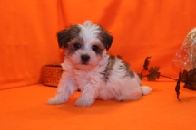 Beans Male CKC Havanese $1750 Ready 9/27 SOLD MY NEW HOME RIVERVIEW, FL 1.12 LBS 6W5D
