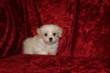 Dumplin Female CKC Havanese $1750 Ready 9/27 SOLD MY NEW HOME JACKSONVILLE, FL 2.1 LBS 8W5D 0LD