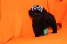 Glory Female CKC Shihpoo $1750 BUT WAIT PUPPY SPECIAL $1500 Ready 8/29 SOLD MY NEW HOME JACKSONVILLE, FL 2.9 Lbs 10W3D Old