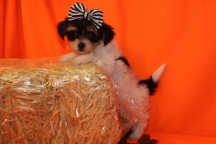 Lucy Female CKC Havashire $1750 Ready 9/8 SOLD MY NEW HOME JACKSONVILLE, FL 1.10 lbs 8W6D Old