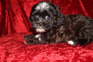 Mario Male CKC Shihpoo $1750 READY 10/6 SOLD MY NEW HOME JACKSONVILLE, FL 2.5 LBS 7W3D Old