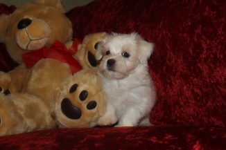 Noodles Male CKC Havanese $1750 BUT WAIT SPECIAL $1500 Ready 9/27 AVAILABLE 2.10 LBS 8W5D Old