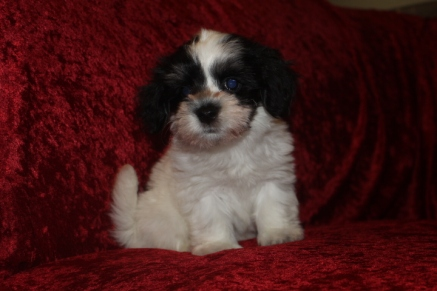 Reuben Male CKC Havanese $1750 Ready 9/27 AVAILABLE 2.8 LBS 8W5D Old