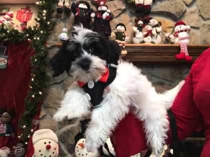 Reuben Male CKC Havanese $1750 BUT WAIT SPECIAL $1250 With all his vaccines including rabies Ready 9/27 SOLD MY NEW HOME ST AUGUSTINE, FL 4.7 LBS 14 weeks 0LD