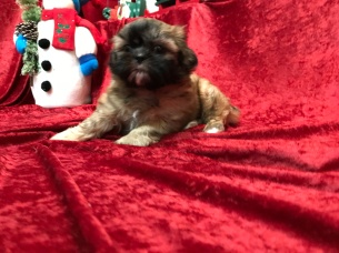 Ruby Female CKC Malshipoo $1750 Ready 11/18 SOLD MY NEW HOME JACKSONVILLE, FL 2.15 Lbs 6W4D old