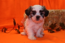 Lolo Female CKC Havashu $1750 Ready 9/26 SOLD MY NEW HOME TAMPA, FL 2.8 lbs 7 wks old
