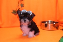 Lacey Female CKC Havashire $2000 BUT PUPPY SPECIAL $1750 Ready 9/8 SOLD MY NEW HOME WINTER GARDEN, FL 1.7 LB 8wks Old