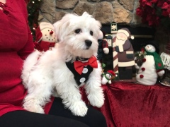 Noodles Male CKC Havanese $1750 BUT WAIT SPECIAL $1500 With all his vaccines including rabies Ready 9/27 SOLD MY NEW HOME JACKSONVILLE, FL 4.3LBS 14 weeks 0LD