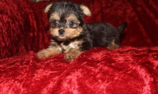 Peanut Male CKC Havashire $1750 Ready 10/6 SOLD MY NEW HOME JACKSONVILLE, FL 1.12 lbs 7W3D Old