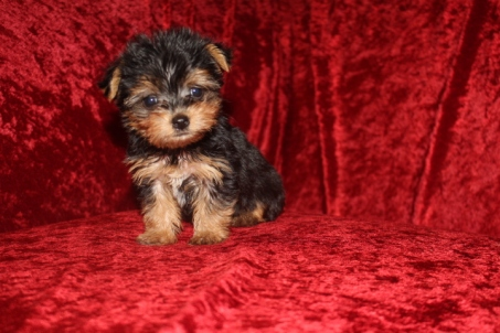 Pita Female CKC Havashire $2500 Ready 10/6 SOLD MY NEW HOME PENSACOLA, FL 1.2 lbs 7W3D Old